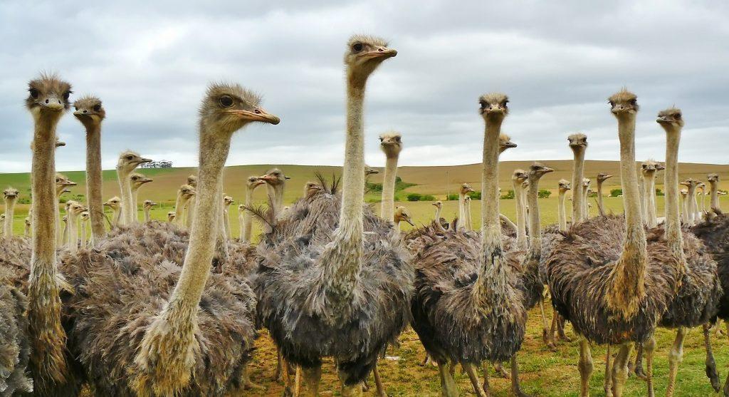 steken struisvogels hun kop in het zand